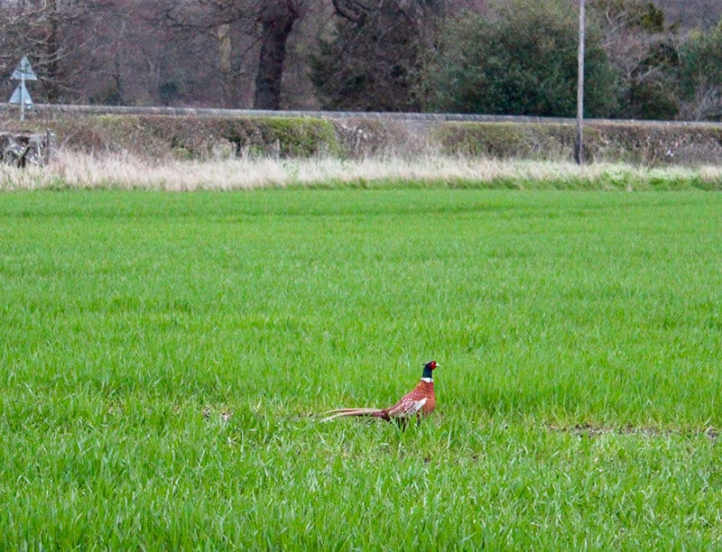 Scottish pheasant in the middle of a green grass field. These suicidal birds made it a terrifying drive through England.
