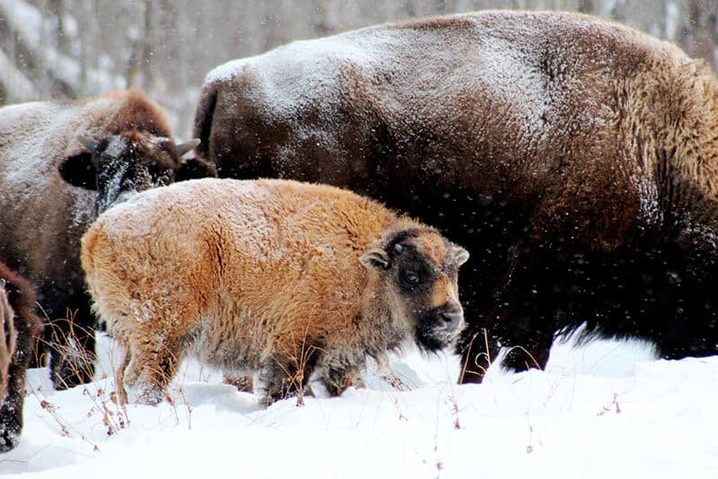 Snow covered baby bison at Elk Island National Park