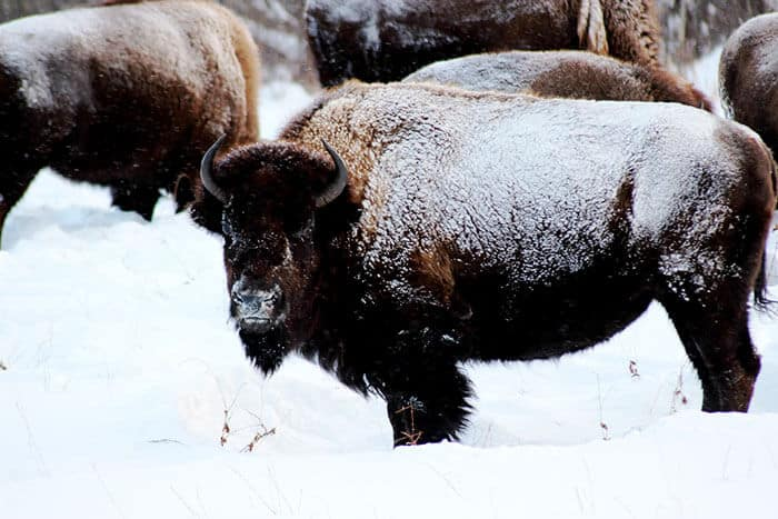 Bison covered in snow looking at the camera in a snowy field