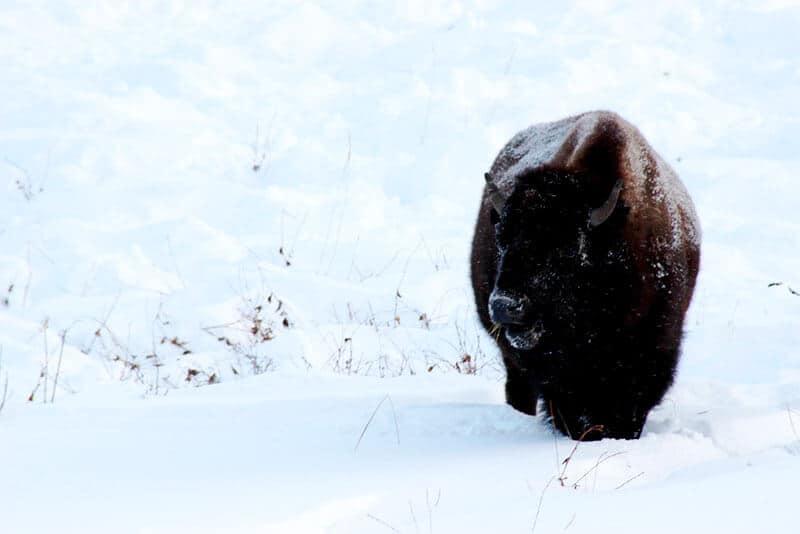 Snow covered bison at Elk Island National Park