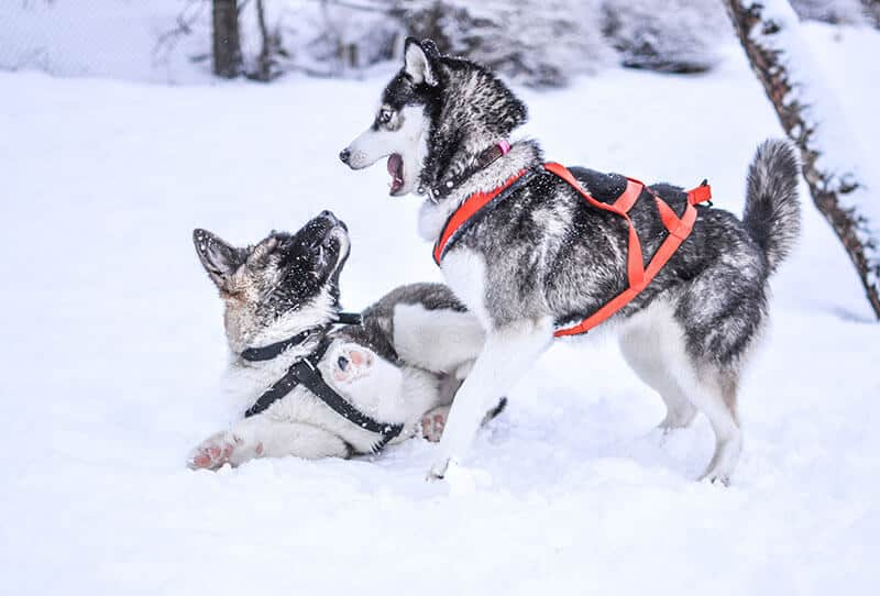 Two dog sledding dogs playing in the snow