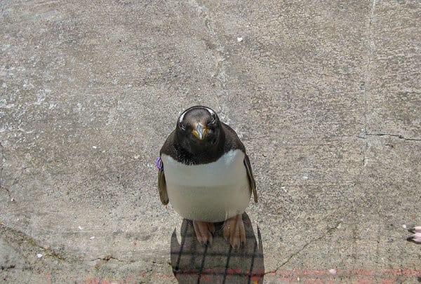 Gentoo Penguin looking up at Edinburgh Zoo