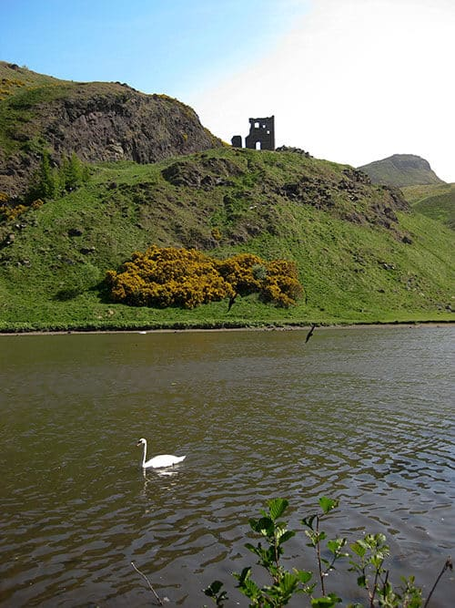 Swan swimming in St. Margaret's Loch next to Arthurs Seat in Edinburgh, Scotland on a sunny day