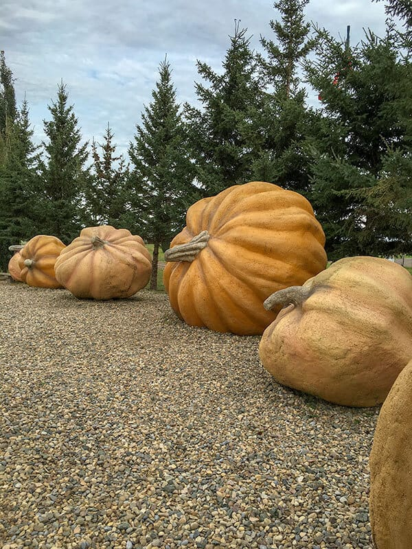 Roadside Attraction of giant pumpkins in Smoky Lake Alberta