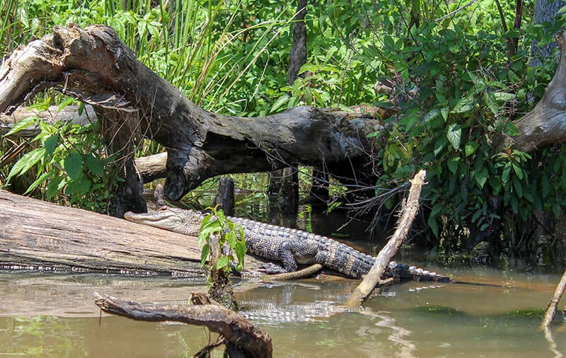 Alligator sunbathing on a log at the Honey Island Swamp