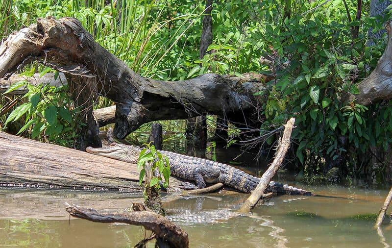 Alligator sunbathing on a log at the Honey Island Swamp