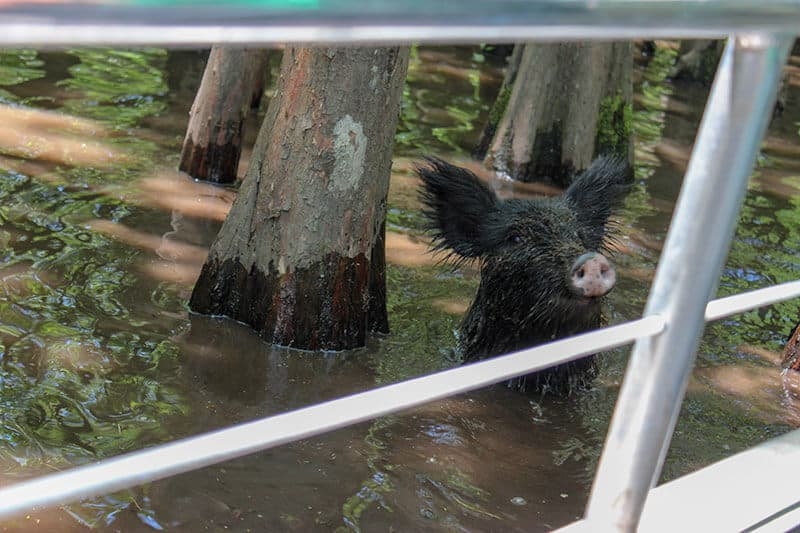 Oreo the pig in the swamp water at the Honey Island Swamp in Louisiana