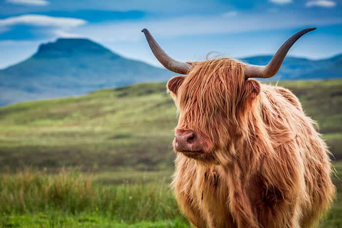 Highland Cow standing in a field in Scotland