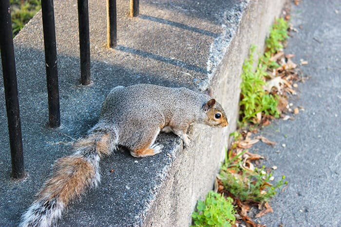 Little fat squirrel near the Central Burying Ground in Boston