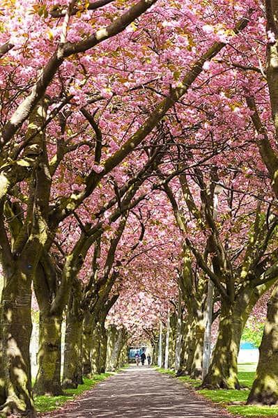 a path with cherry blossom trees lined on both sides of the path