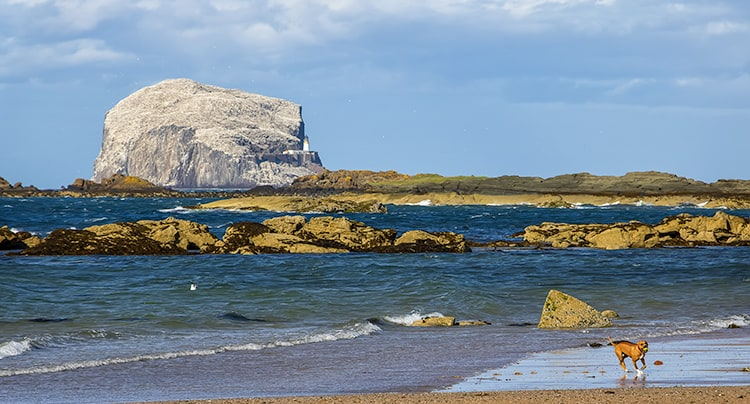 Bass Rock with the Firth of Forth sea water and a beach with a dog running on it in North Berwick Scotland.