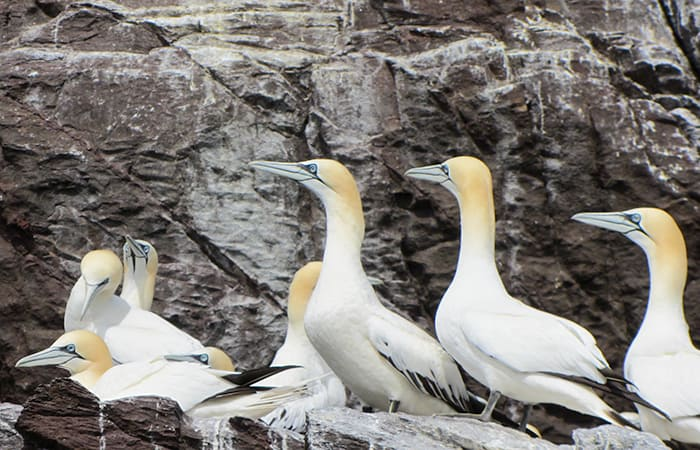 Northern Gannet seabirds sitting and relaxing on Bass Rock in North Berwick