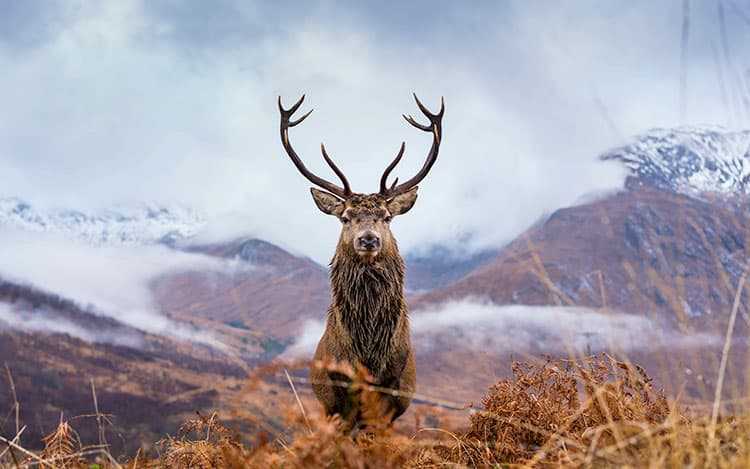 Red Deer in Scottish Highlands looking at camera